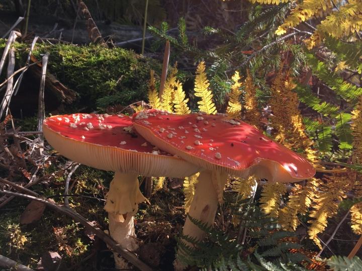 Pilzzeit in den Wäldern von Höhr-Grenzhausen